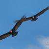Turkey Vulture Tango