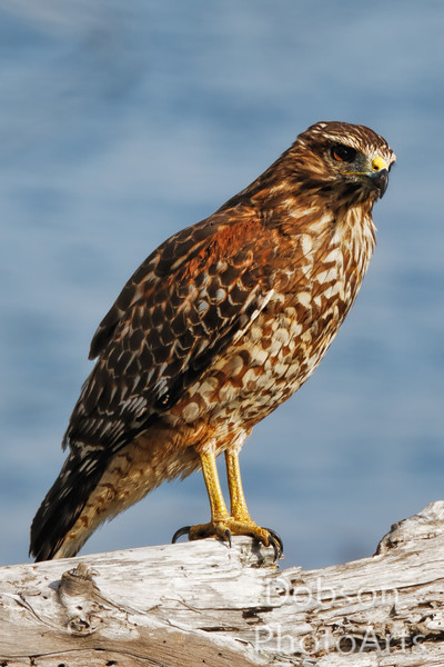 Red-Shouldered Hawk Lazing in the Late Afternoon Sun