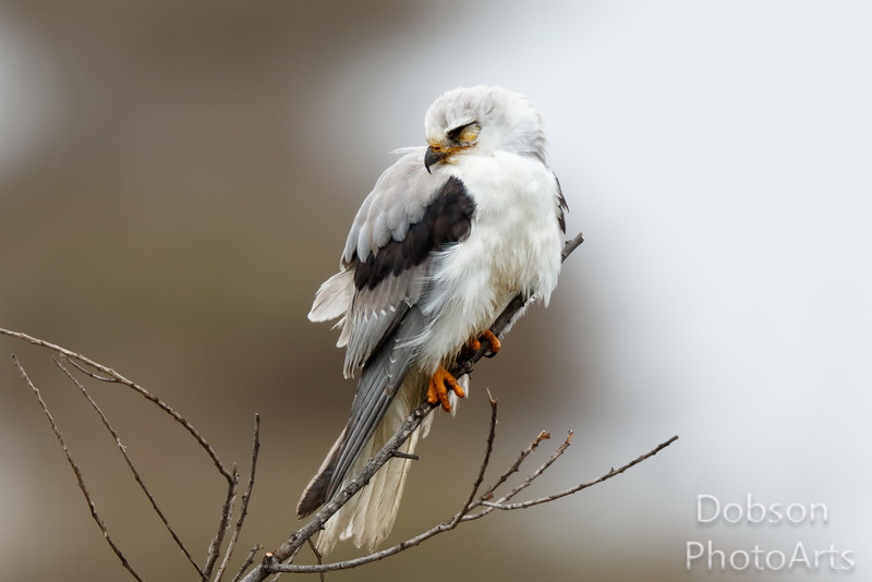 Napping White-tailed Kite