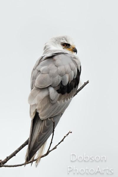 White-tailed Kite profile
