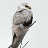White-tailed Kite profile