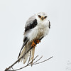 White Tailed Kite after a wet dash in the reeds