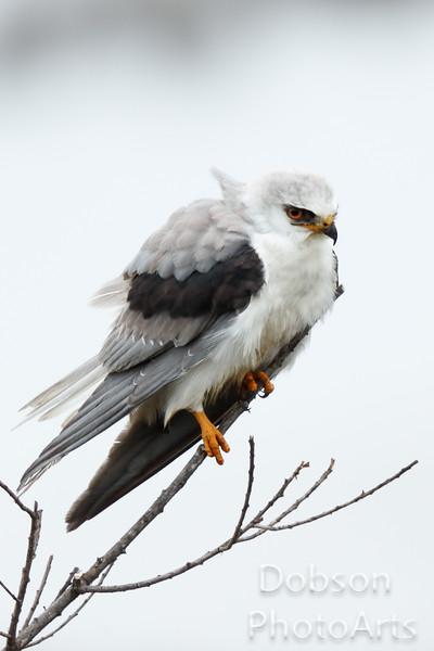 Whie-Tailed Kite