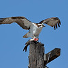 Young Osprey With Catch of the Day