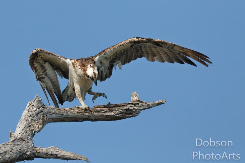 The Dancing Osprey