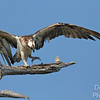 The Dancing Osprey