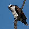 Mature Osprey