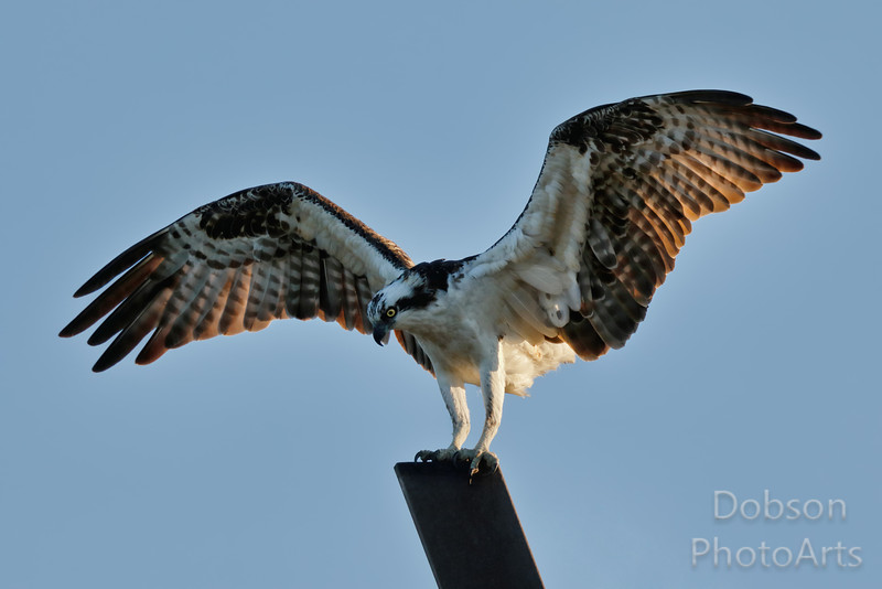 Osprey Displaying