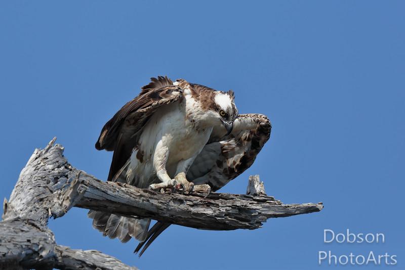 Portraint of an Osprey