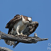 Portraint of an Osprey