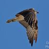 Osprey Ascending