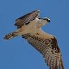 Glaring Osprey