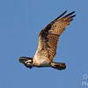 Osprey on a golden morning