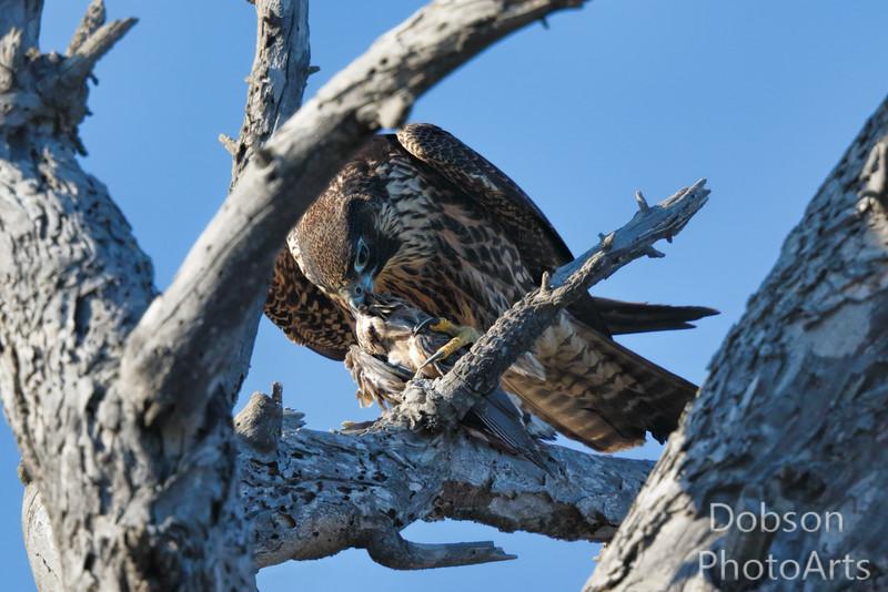 Immature Peregrine Falcon