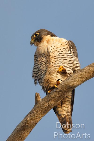 Peregrine Falcon Looking for Prey
