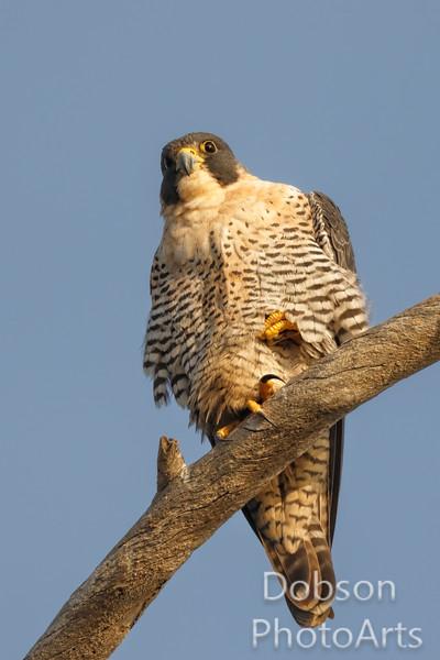 Peregrine Falcon Surveying  its Kingdom