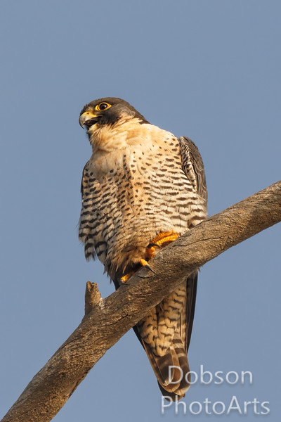 Peregrine Falcon looking to its right