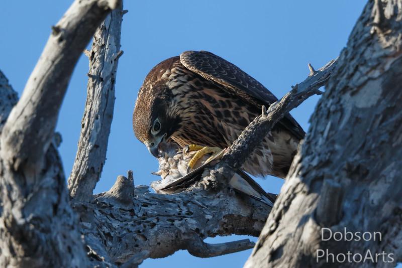 Immature Peregrine Falcon With Prey