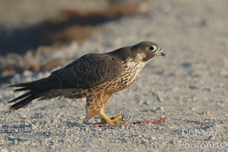 The Other Peregrine Brother