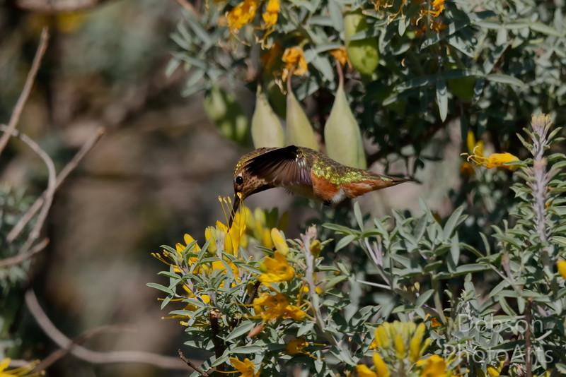 Rufous Hummingibrd
