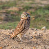 Burrowing Owl on Alert