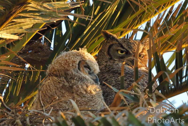 Owlet Napping at Dawn