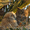 Owlet Napping at Dawn