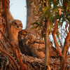 Great Horned Owl and Chicks at Surnise