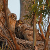 Great Horned Owl and Chicks near sunrise