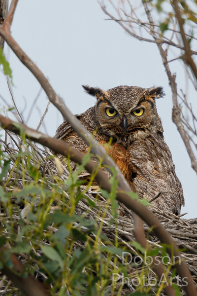 Great Hroned Owl  On Nest - Close-up