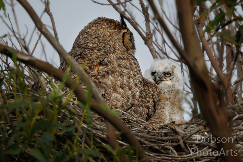 Great Horned Owl and Oldest Chick