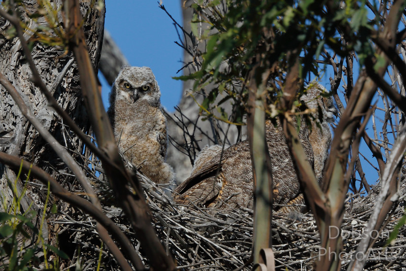 Gerat Horned Owl Chick