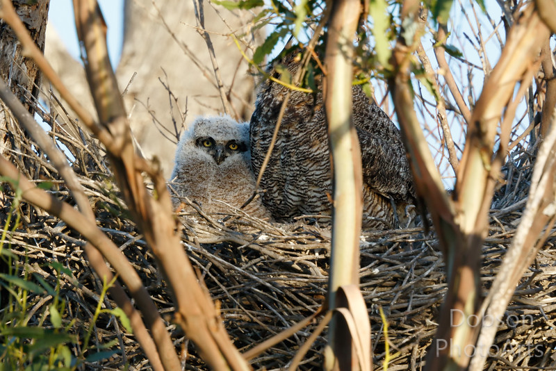 Great Horned Owl and Chick