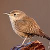 Portait of a House Wren