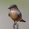 Say's Phoebe - adult