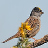 Portait of a Golden -crowned Sparrow