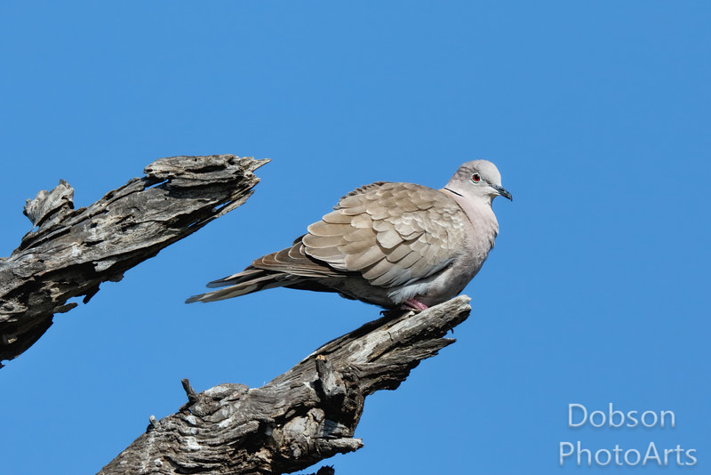 Collared Dove Fluffed for Preening