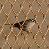 White-crowned Sparrow -