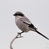 Loggerhead Shrike Looking for Prey