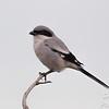 Loggerhead Shrike Looking for Prey