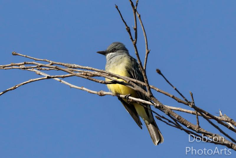 Cassin's Kingbird on Alert