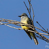 Cassin's Kingbird on Alert