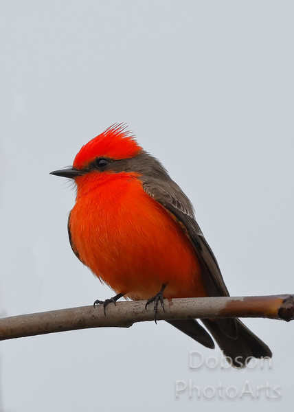Vermillion Flycatcher on a cold winter's day