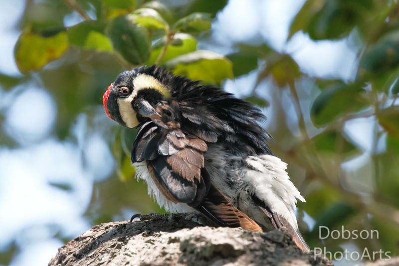 Acorn Woodpecker Preening