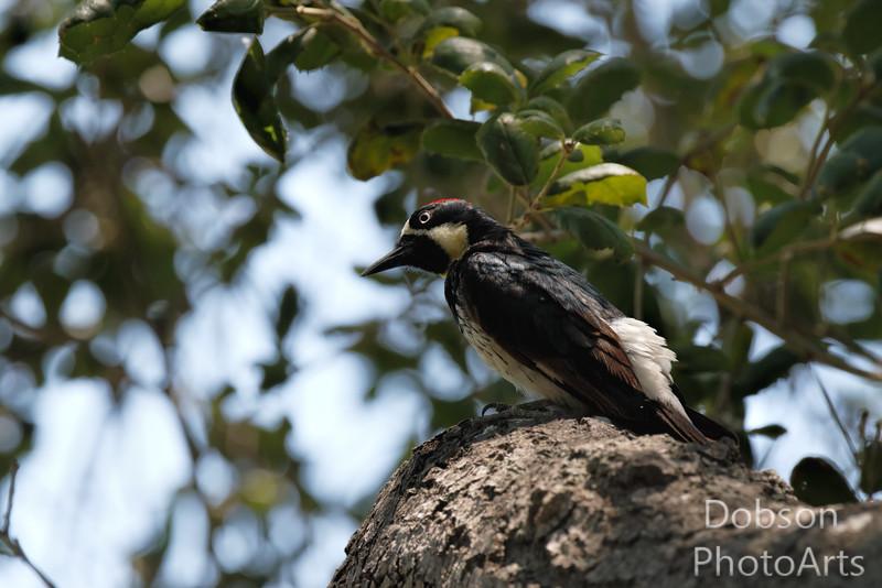 Acorn Woodpecker Searching for Acorns
