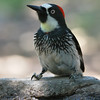 Acorn Woodpecker on Fountain