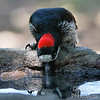Acorn Woodpecker Drinking