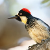 Portrait of an Acorn Woodpecker