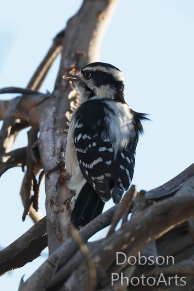 Woodpecker on Watch
