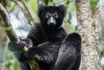 The Indri is the largest lemur in Madagascar. Critically endangered, it inhabits the eastern rainforests of the island.